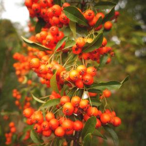 Weißdorn, Sanddornstrauch mit orangen Beeren und grünen Blättern